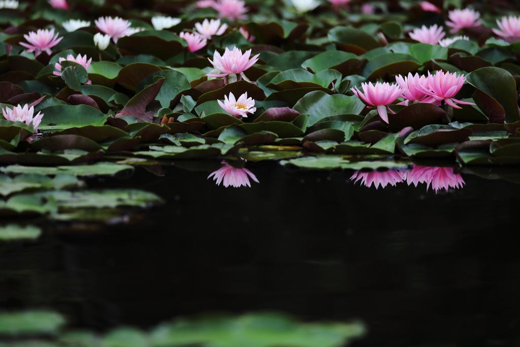 静寂な公園に咲く睡蓮