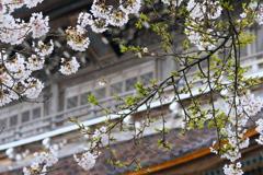 門前町総持寺祖院の桜
