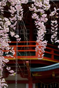 本堂を彩る枝垂れ桜