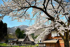 菅沼集落の桜