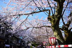 兼六園茶屋街の桜