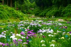 森の花菖蒲園散策