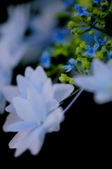 四季の彩り紫陽花