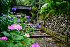 金澤のあじさい寺本興寺