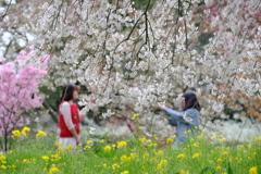 しだれ桜の遊
