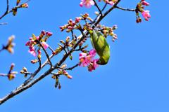 河津桜とメジロ-Ⅱ