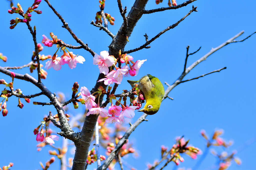 河津桜とメジロ-Ⅴ