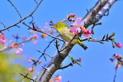 河津桜とメジロ-Ⅳ