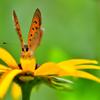 花と蝶-Ⅱ
