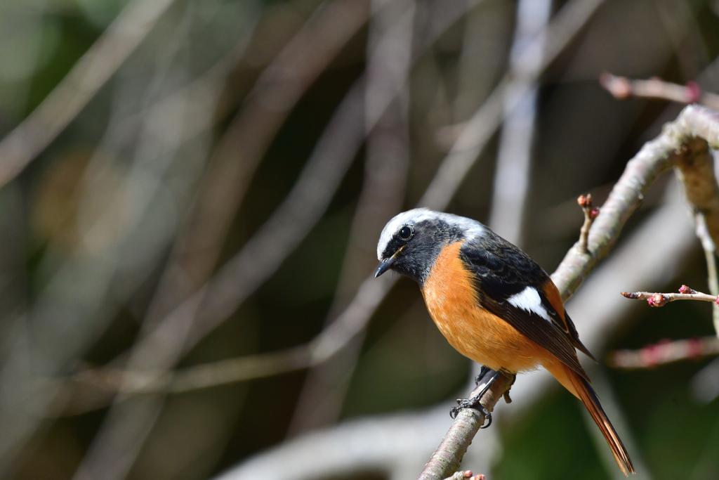 今日の野鳥-Ⅲ