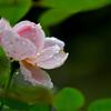 雨上がりと薔薇-Ⅱ