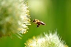 ミツバチとねぎ坊主