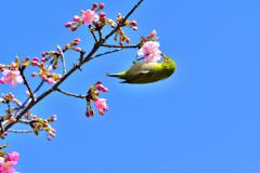 河津桜とメジロ-Ⅲ