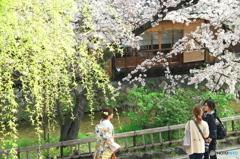 京のさくら 白川