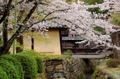 京のサクラ 大覚寺 改訂版