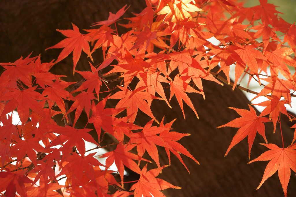 花・草木 紅葉  白鳥神社
