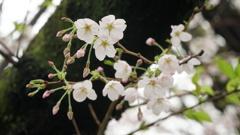 名古屋城のサクラ