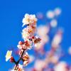 薄ピンク梅と空