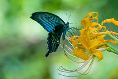 ヒガン花とアゲハチョウ