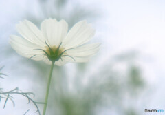 美麗✿花言葉