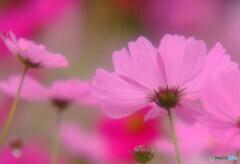 華やかに美しく✾秋桜