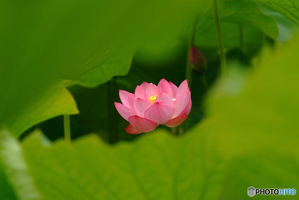 ひとり咲き♪蓮