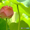 蓮に願いを✿詩