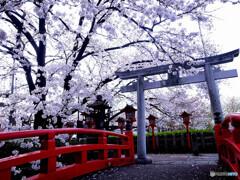 心静かに・都の桜
