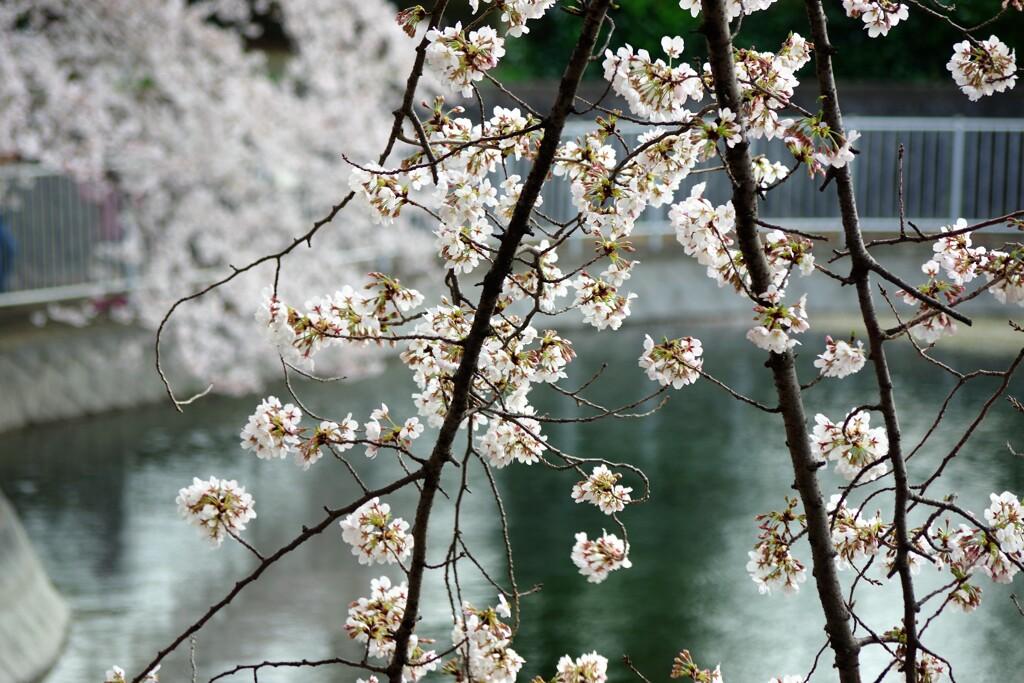 池辺に咲く...