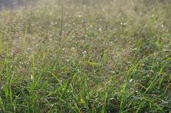 雑草の輝き