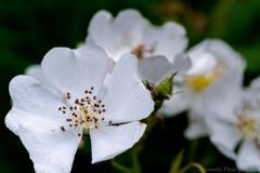 fiore -野茨