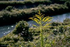 河畔の野草花