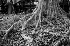 ゴツゴツの根