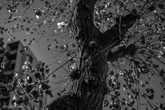 ゴツゴツの木肌と寒空