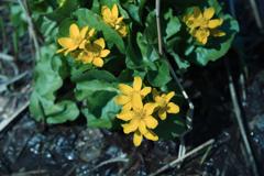 蝦夷立金花(エゾノリュウキンカ)