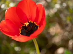 春の庭2021:赤いチューリップ