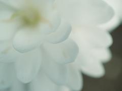 春の庭2021:サンギナリア(八重咲き)