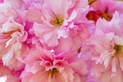 遅咲き八重桜満開Ⅱ