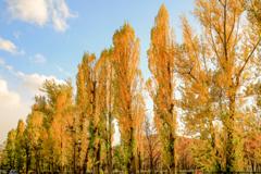 ポプラ並木に秋
