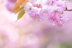 遅咲き八重桜満開