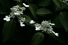 純白の乙女 IMGP9246