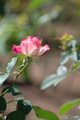 鶴舞秋薔薇2