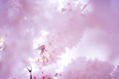 桜マジック