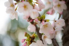 我が町にも桜