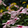 代々木公園の花畑...03