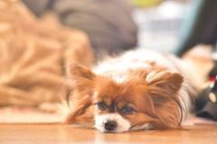 眠そうな愛犬