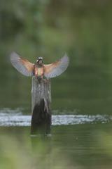 カワセミ幼鳥⑦