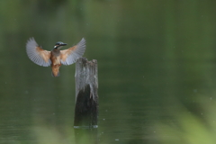カワセミ幼鳥②