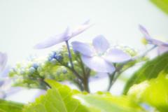 ミラー紫陽花