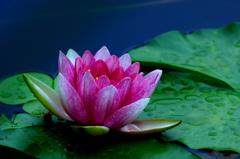 山上の池に咲く